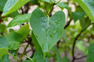 Image showing a heart shaped leaf