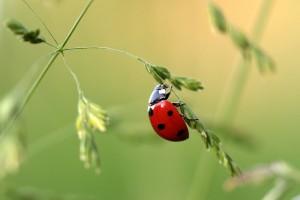 Image showing a ladybird bug